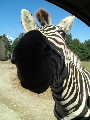 A curious zebra at Planete Sauvage
