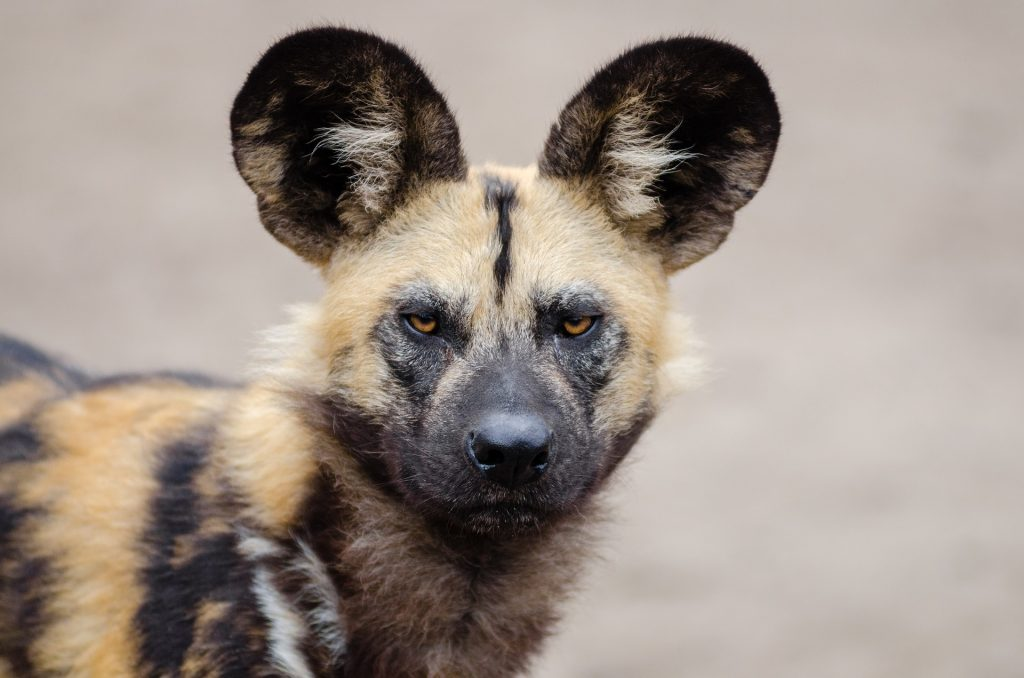 African Wild Dogs can be found at Natur'Zoo de Mervent in Vendée