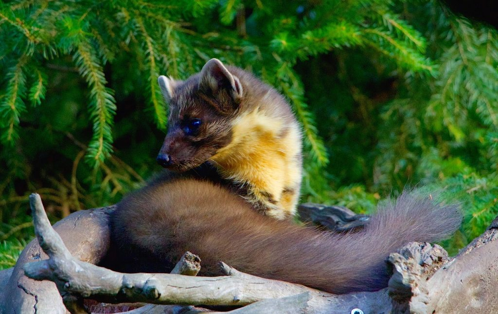 Marten or kuna as known in Croatia